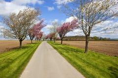 Aveny av körsbärsröda träd för vår Royaltyfri Fotografi