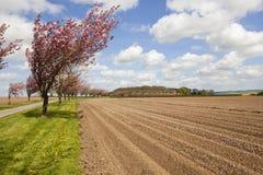 Aveny av körsbärsröda träd med potatisrader Arkivfoto
