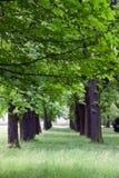 Aveny av kastanjebruna trees i fjäder Royaltyfria Bilder