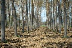 Aveny av träd på den plogade jorden Arkivfoto