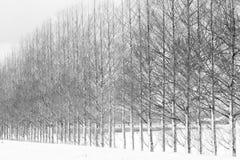 Aveny av trädet för gryningredwoodträd med snö Royaltyfri Foto
