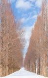 Aveny av trädet för gryningredwoodträd med snö Arkivfoto