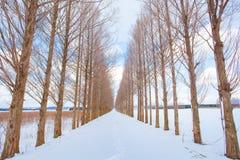 Aveny av trädet för gryningredwoodträd med snö Fotografering för Bildbyråer