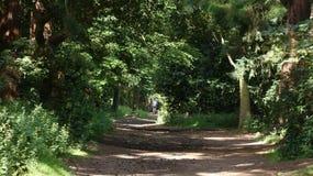Aveny för granträd på mitt--dagen i sommaren 11 arkivbild