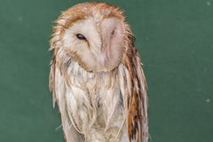 Average owl asleep Stock Photos