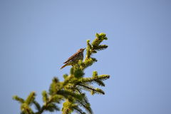 The average songbird. Mistle Thrush perched on a spruce top and beautifully singing Royalty Free Stock Image
