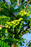Averrhoa bilimbi of Belimbing Buluh Stock Photography