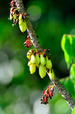 Averrhoa bilimbi Royalty Free Stock Photos
