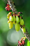 Averrhoa bilimbi Stock Photo