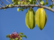 Averrhoa carambola Stock Photography