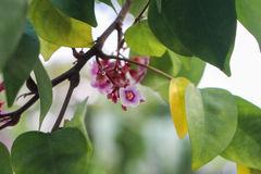 Averrhoa carambola royalty free stock image