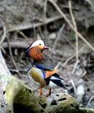Aves acuáticas Foto de archivo