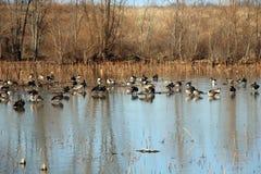 Aves acuáticas Fotografía de archivo libre de regalías