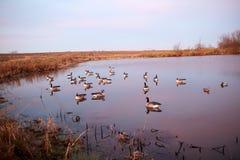 Aves acuáticas de la trampa en un lago o una charca rural tranquilo Imagen de archivo