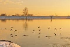 Aves acuáticas y un río holandés en luz de oro Imágenes de archivo libres de regalías