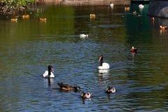 Aves aquáticas na lagoa no parque imagem de stock royalty free