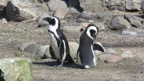 aves aquáticas: os pinguins foto de stock