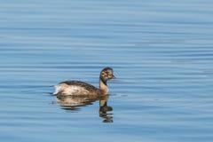 Aves aquáticas - piti Foto de Stock Royalty Free