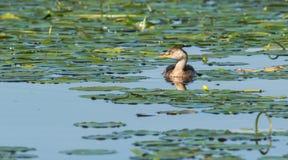 Aves aquáticas - piti Fotos de Stock Royalty Free