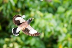 Aves canoras comuns de Myna em Havaí Imagens de Stock