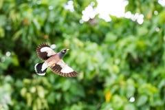 Aves canoras comuns de Myna em Havaí Fotografia de Stock Royalty Free