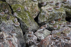 Aves costeras en rocas Foto de archivo libre de regalías