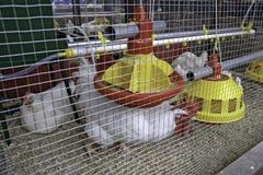 Aves de corral Foto de archivo libre de regalías