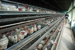 Aves de corral del pollo Fotos de archivo libres de regalías