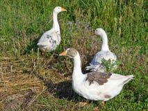 Aves de corral el ganso Imágenes de archivo libres de regalías