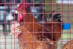 Aves de corral en la granja Foto de archivo