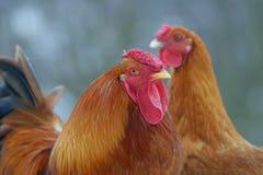 Aves de corral, gallina y gallo Foto de archivo libre de regalías