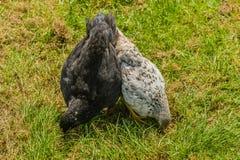 Aves de corral - pollos del patio trasero Imagen de archivo libre de regalías
