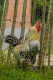 Aves de corral - pollos del patio trasero Fotos de archivo