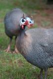 Aves de Guinea imagen de archivo libre de regalías