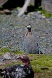 Aves de Guinea Foto de archivo