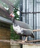 Aves de Guinea Fotos de archivo