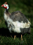 Aves de Guinea Imagenes de archivo