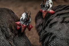 Aves de Guinea Foto de archivo libre de regalías
