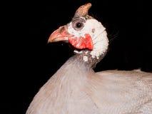 Aves de Guinea con casco (meleagris del Numida) Fotografía de archivo libre de regalías