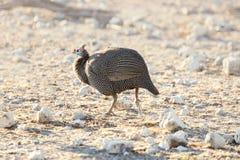 Aves de Guinea con casco que corren en el desierto de Etosha Fotos de archivo