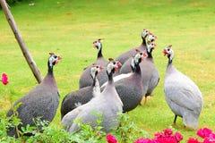 Aves de Guinea lindas Fotos de archivo libres de regalías