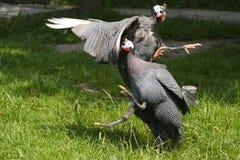 Aves de Guinea que guerrean Imagen de archivo libre de regalías