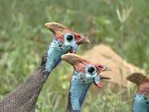 Aves de Guiney Imágenes de archivo libres de regalías