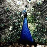 Aves de lujo Fotografía de archivo libre de regalías