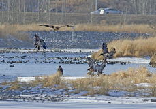 Aves de rapina Galore Fotografia de Stock