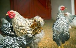 Aves domésticas Imagem de Stock Royalty Free