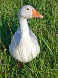 Aves domésticas o ganso Fotos de Stock Royalty Free