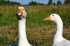 Aves domésticas o ganso Fotografia de Stock Royalty Free