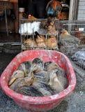 Aves domésticas para a venda Fotos de Stock