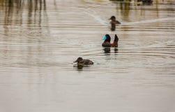 Aves marinas acuáticas en la reserva nacional del lago Titicaca, islas Peru South America de Ballestas Fotografía de archivo
